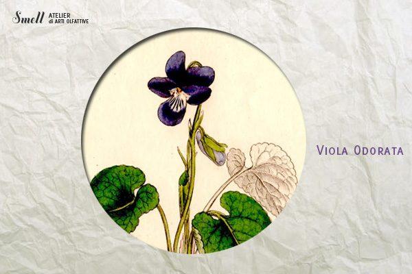 violaodorata